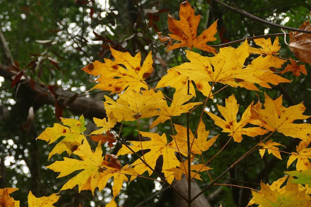 Acer Macrophyllum Big Leaf Maple Acer Macrophyllum Big L Flickr