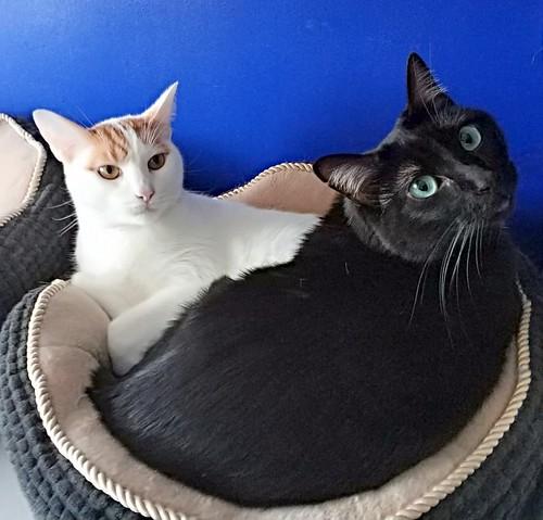 Gary, gatito blanco y naranja cruce Van Turco esterilizado muy activo nacido en Julio´16, en adopción. Valencia. ADOPTADO. 46272989202_a9d7c45988