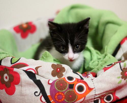 Hugo, gatito blanquinegro adorable nacido en Octubre´18, en adopción. Valencia. ADOPTADO. 45942477001_676d84c980