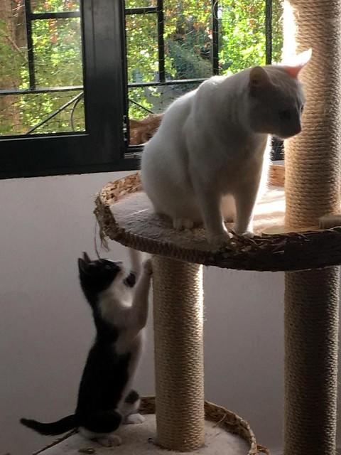 Hugo, gatito blanquinegro adorable nacido en Octubre´18, en adopción. Valencia. ADOPTADO. 46391830811_f853d55256_z