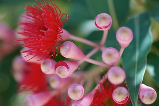 Macro buds, Flowering Gum | by Joe Lewit