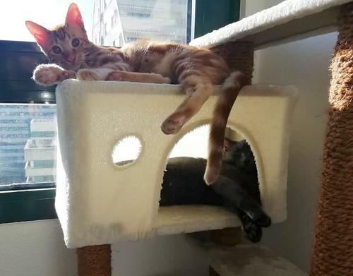 Rowen, gato rojo dibujo tabby activo y guapo esterilizado nacido en Abril´18, en adopción. Valencia. ADOPTADO. 31078559607_892fe6bfec