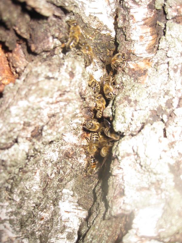 Пчёлы в трещине берёзы