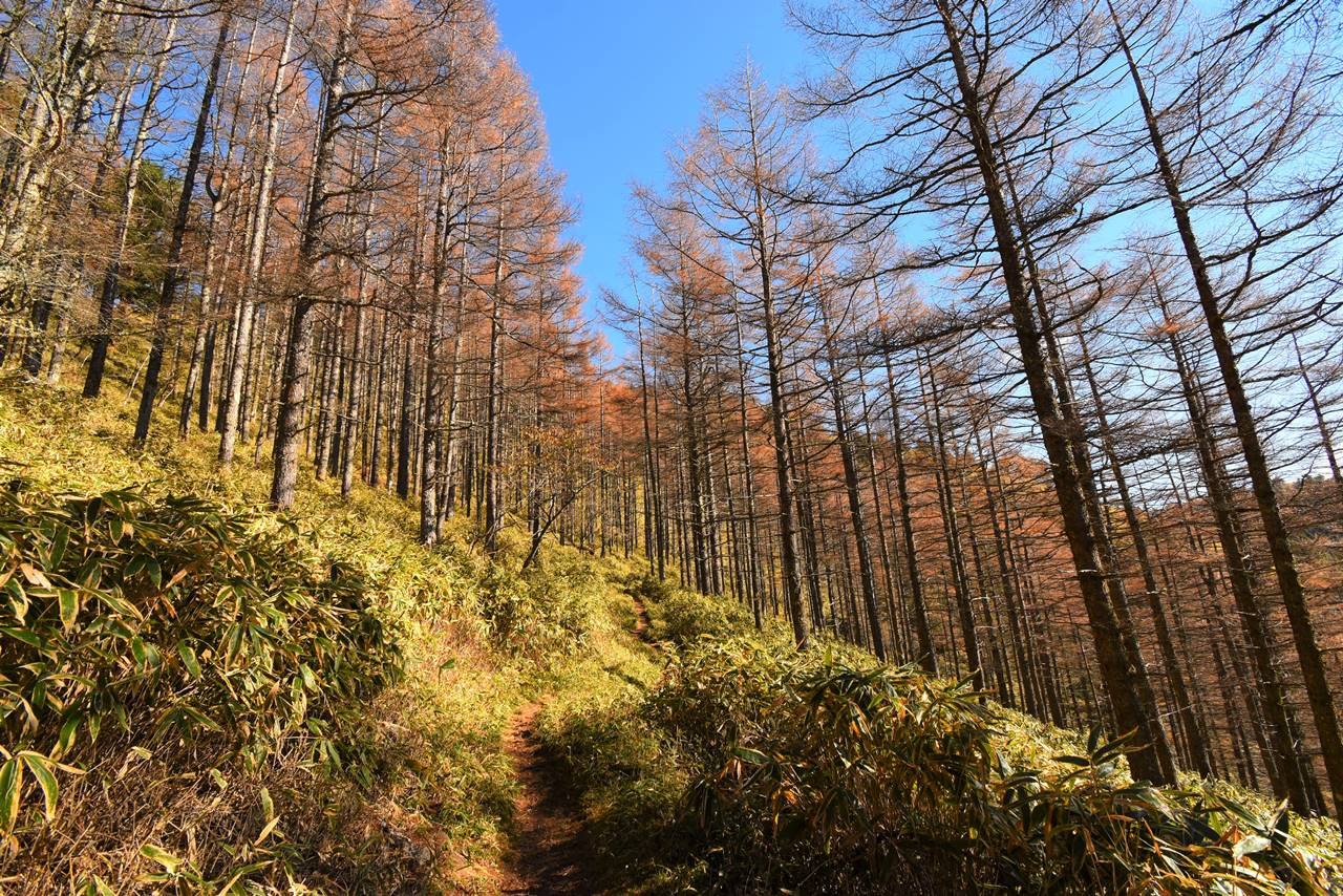 石丸峠 カラマツの紅葉広がる登山道