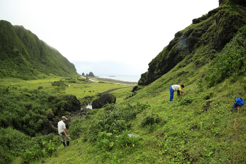 研究人員將紫苞舌蘭引回蘭嶼現地栽種