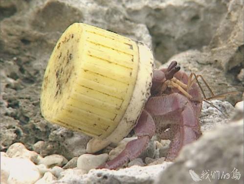 984-2-10早期以塑膠瓶蓋和燈泡當家的寄居蟹。