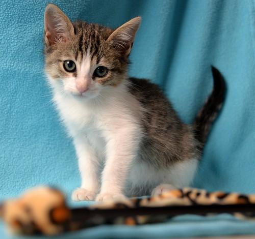 Morris, gatito blanquipardo muy guapo y activo nacido en Octubre´18, en adopción. Valencia. ADOPTADO. 45893473822_92438aec90