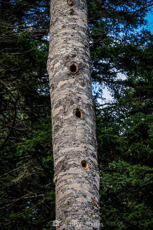 Agujeros de pájaro carpintero en una haya