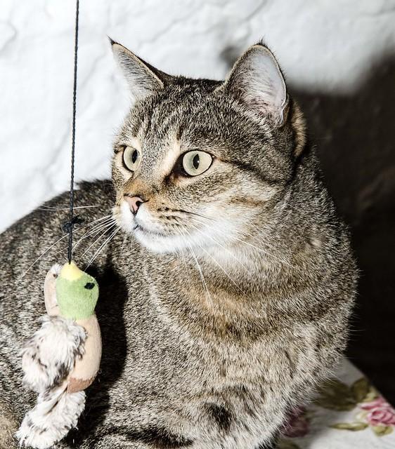 Bandit, gato pardo ojos verdes súper bueno esterilizado, nacido en Marzo´16, en adopción. Valencia. ADOPTADO. 32377527758_f0603b716d_z