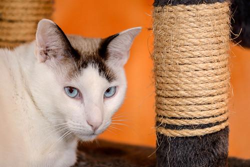 Blau, gato cruce Snowshoe nacido en enero´17 esterilizado, apto para gatos machos, en adopción. Valencia. 46157690342_3cec042213