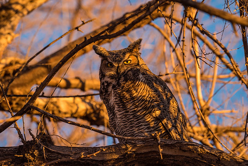 1811_1648 Great Horned Owl | by wild prairie man