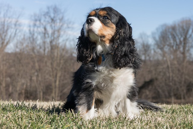 cocker-spaniel-april-birth-month-dog-breed