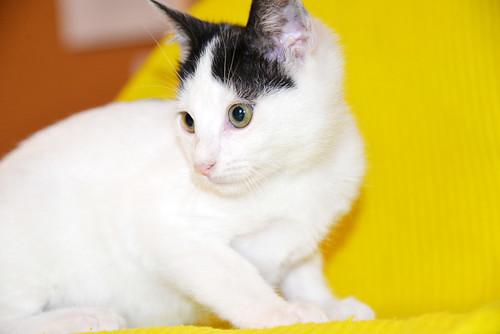 Morad, gatito blanco con toques negros muy juguetón nacido en Octubre´18, en adopción. Valencia. 45410900525_c7c39dfdde