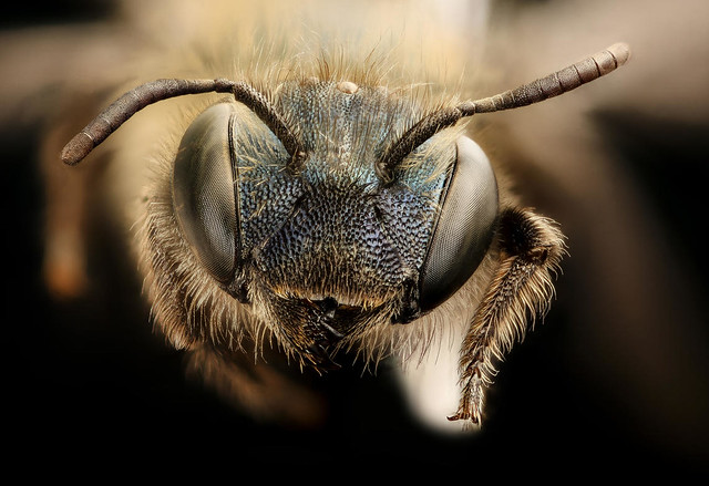 A close-up of a bee