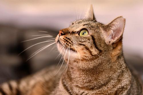 Ava, gata parda muy dulce y buena esterilizada, nacida en Enero´17, en adopción Valencia. RESERVADA. 31980978857_8b423a7cf7