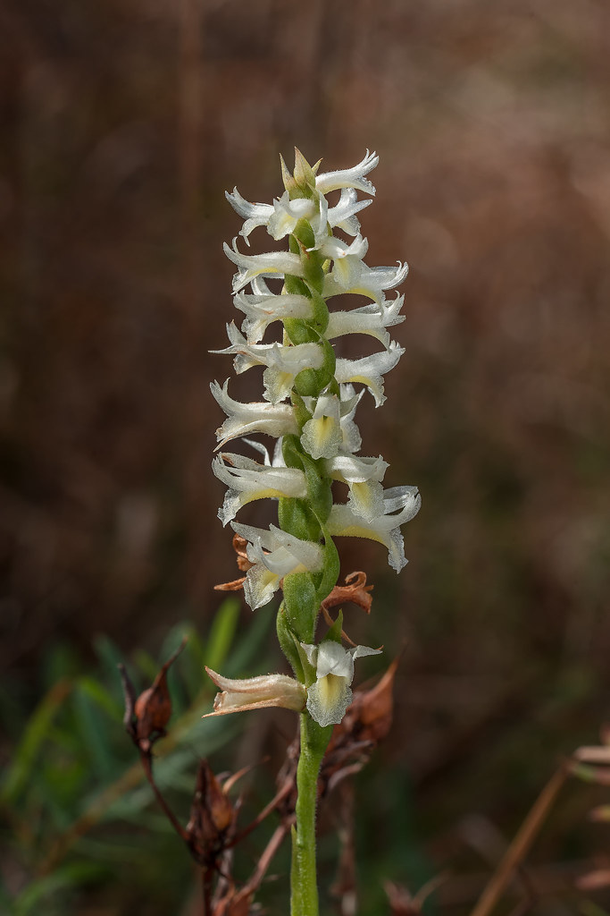 Great Plains Ladies'-tresses orchid