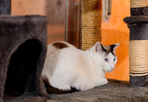 Blau, gato cruce Snowshoe nacido en enero´17 esterilizado, apto para gatos machos, en adopción. Valencia. 45484147864_316953c228