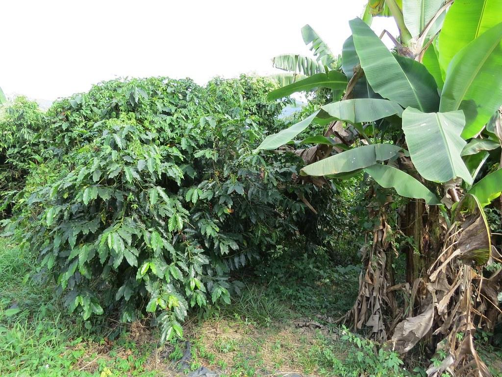 香蕉及咖啡在水份、營養管理上有一致性,便於間作栽培。