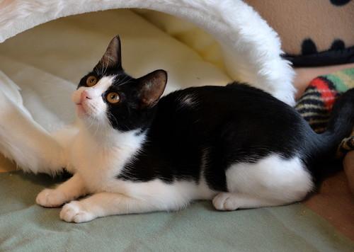 Sophie, gatita blanquinegra capuchina tímida y tierna nacida en Junio´18, en adopción. Valencia. ADOPTADA. 44126479580_12f44c2ecc