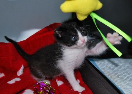 Hugo, gatito blanquinegro adorable nacido en Octubre´18, en adopción. Valencia. ADOPTADO. 43969911850_701e9d63a8