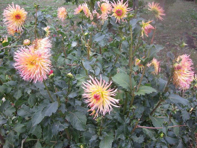 Цветок Георгина Стефания