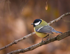 Great tit by hedera.baltica