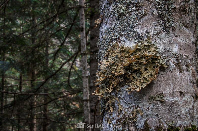 Especimen de Lobaria pulmonaria en el bosque de la Artiga de Lin