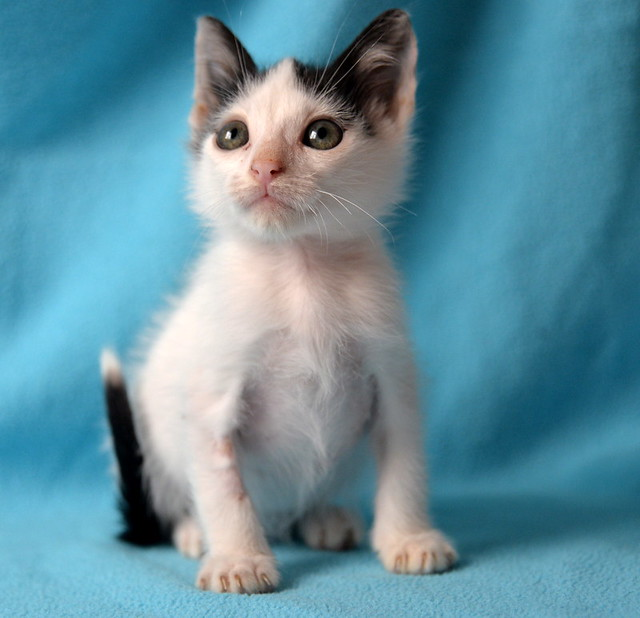 Morad, gatito blanco con toques negros muy juguetón nacido en Octubre´18, en adopción. Valencia. 45218566584_ee94437774_z