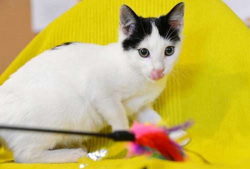Morad, gatito blanco con toques negros muy juguetón nacido en Octubre´18, en adopción. Valencia. 46273119082_a1a30770d5