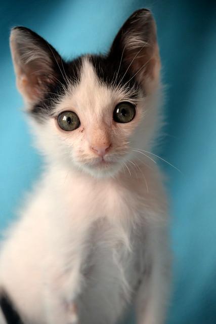 Morad, gatito blanco con toques negros muy juguetón nacido en Octubre´18, en adopción. Valencia. 45942703511_dedd33fd43_z