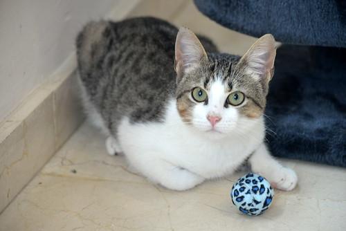Alfred, gatito blanquipardo de ojos verdes nacido en Junio´18, en adopción. Valencia. ADOPTADO. 45942561581_a1c4d57d42