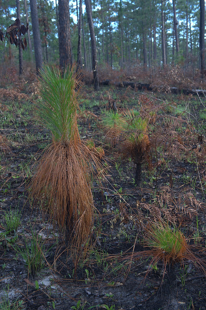 A pine forest after a prescribed fire.