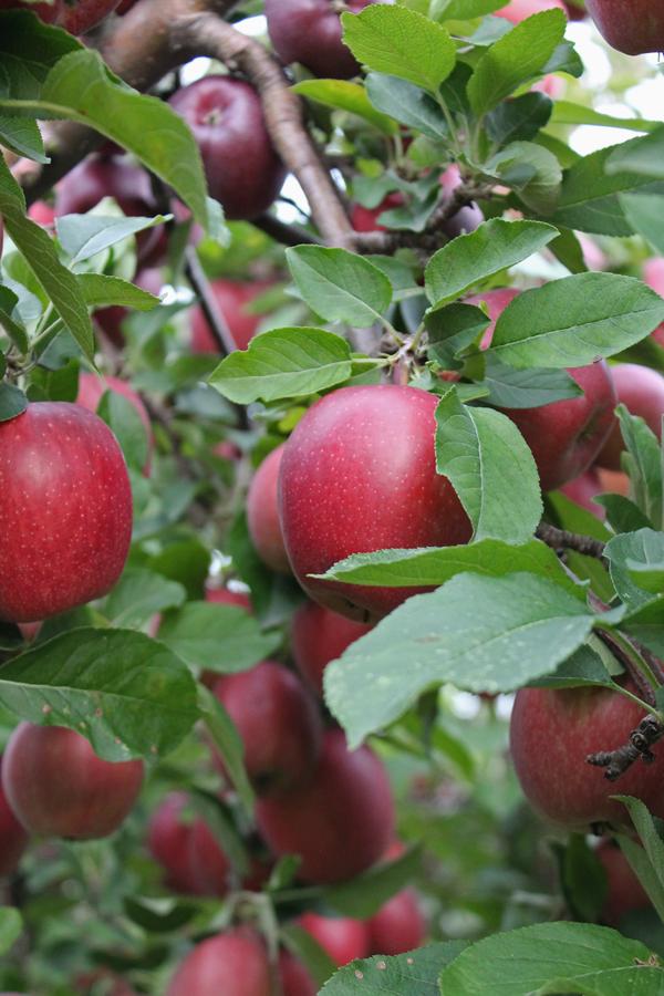 apples upstate ny