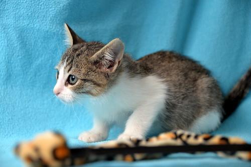 Morris, gatito blanquipardo muy guapo y activo nacido en Octubre´18, en adopción. Valencia. ADOPTADO. 44126430060_be9330e0cc
