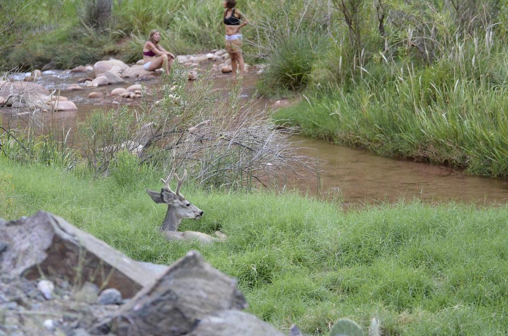 大峽谷底 Bright Angel Campground 營地旁的小鹿。
