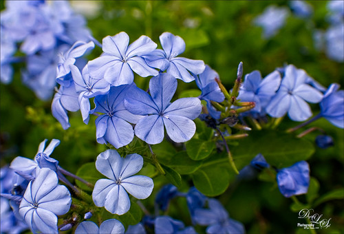 Image of Blooming Plumbago Plant