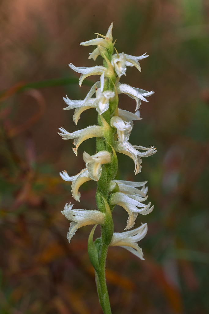 Great Plains Ladies'-tresses orhchid
