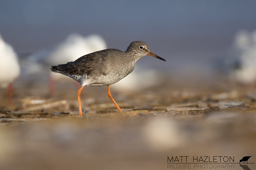 Redshank | by Matt Hazleton