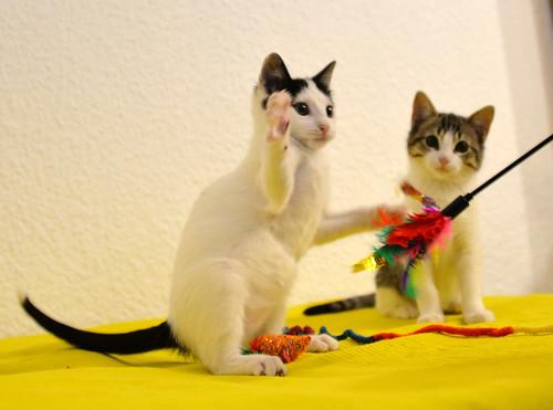Morad, gatito blanco con toques negros muy juguetón nacido en Octubre´18, en adopción. Valencia. 45410896795_619a047be9
