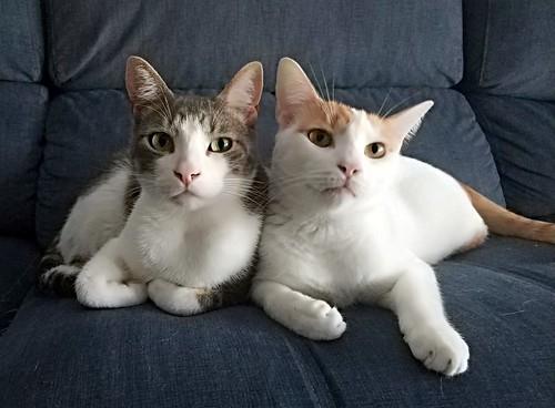 Gary, gatito blanco y naranja cruce Van Turco esterilizado muy activo nacido en Julio´16, en adopción. Valencia. ADOPTADO. 46272990022_7a64c6eabd