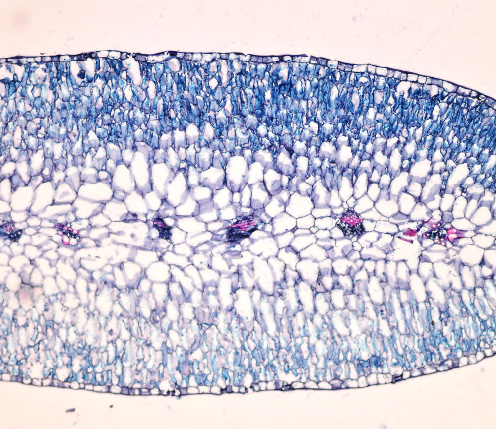 海南草海桐的葉子雖然小卻很肥厚,厚度約0.1到0.3公分,屬於上下相同構造的等面葉。由上到下依序為上表皮、直立緊密排列的柵狀組織、圓形緊密排列的海綿組織和維管束,再往下是柵狀組織,最後則為下表皮。