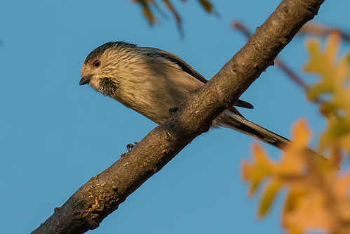 Long-tailed Tit | by kulukaya