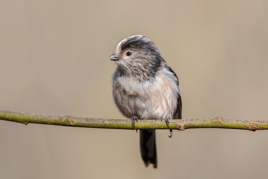 ... Long Tailed Tit   by Linda Martin Photography