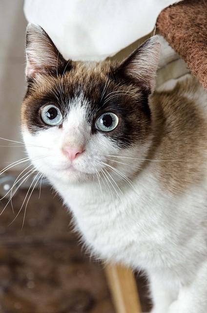 Dora, gata cruce Snowshoe dulce y habladora esterilizada, nacida en Marzo´18, en adopción. Valencia. 39967471753_eca1094bf0_z