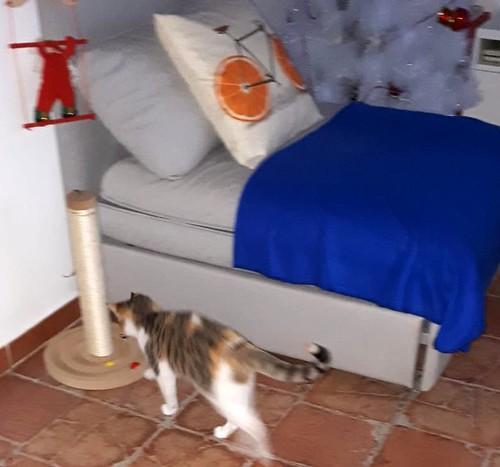 Casandra, gatita tricolor monísima y súper buena esterilizada, nacida en Mayo´18, en adopción. Valencia. ADOPTADA. 45760443594_6590926db7