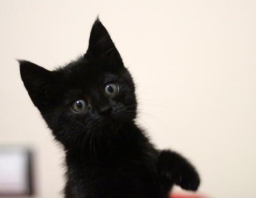 Mina, gatita azabache súper mona nacida en Septiembre´18, en adopción. Valencia. ADOPTADA. 44970853485_77b5f06387
