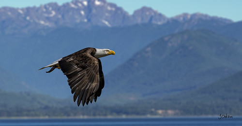 American Bald Eagle | by Jim Oskam