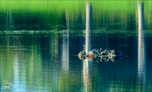 Image of seven turtles talking on a pond