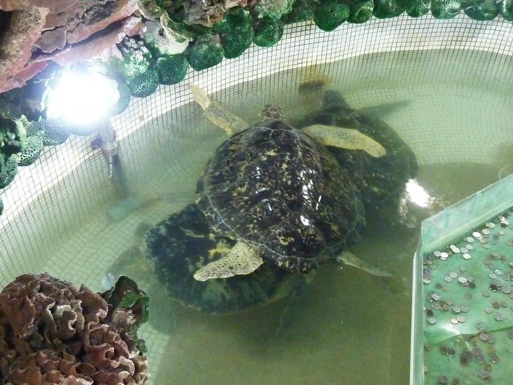 海龜是獨棲型動物。大義宮將海龜密集飼養,不僅違反其自然習性,也造成海龜搶食、打鬥等「緊迫症候」(圖片提供/臺灣動物社會研究會)