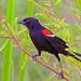 2018.07.01 Sweetwater Wetlands Red-winged Blackbird 2